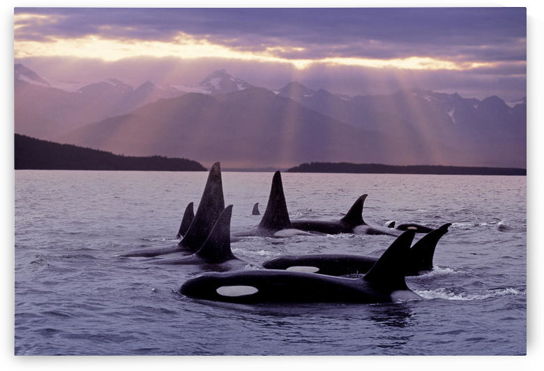 Orca Pod In Lynn Canal W/Sunrays On Chilkat Mtn Ak Se Summer Evening Composite by PacificStock