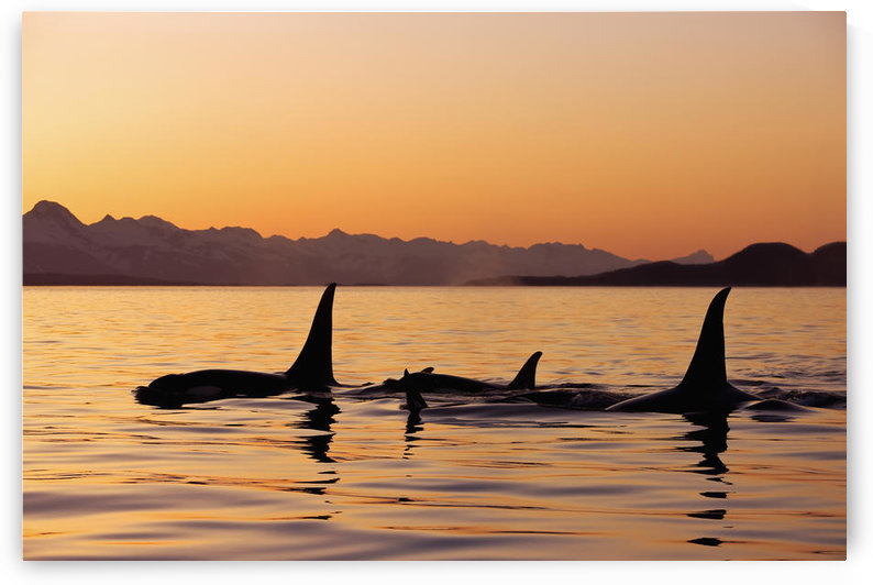 Orca Whales Surface In Lynn Canal At Sunset With Coast Range In The Background, Alaska. by PacificStock
