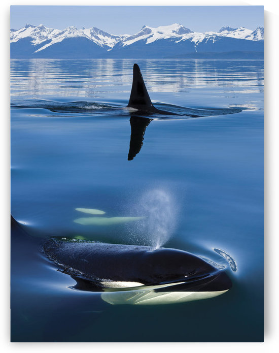 Composite: Close Up Of Orca Whales As They Surface In Lynn Canal With The Coast Range Mountains In The Background, Inside Passage, Southeast Alaska by PacificStock
