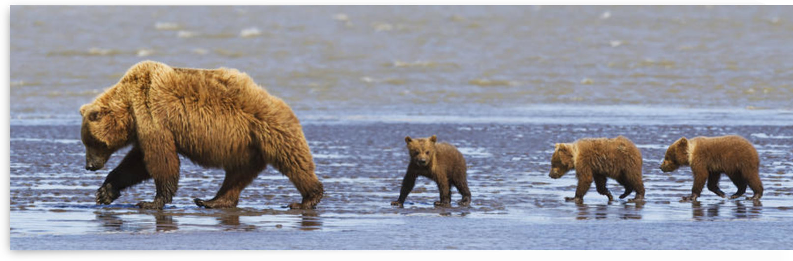 Brown Bear Sow And Her Three Cubs Walking On A Beach At Lake Clarke National Park; Alaska United States Of America by PacificStock