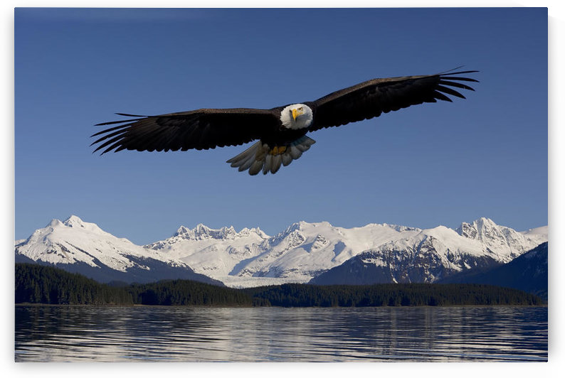 Bald Eagle In Flight Inside Passage Tongass National Forest Se Alaska Spring Composite by PacificStock