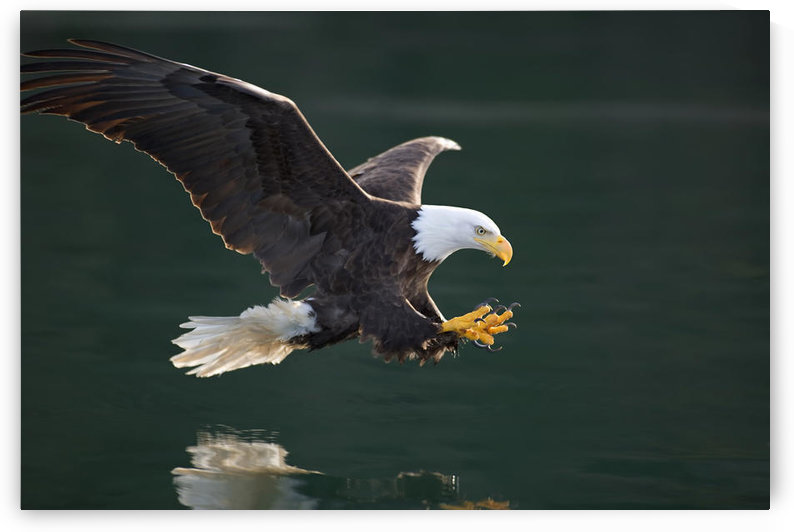 Bald Eagle Catching Fish Along The Shoreline Inside Passage Tongass National Forest Se Alaska Summer by PacificStock