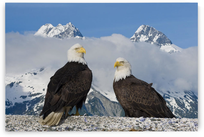 Composite: Two Bald Eagles Perched On The Beach In Lituya Bay With The Fairweather Range In The Background, Glacier Bay National Park, Southeast, Alaska by PacificStock