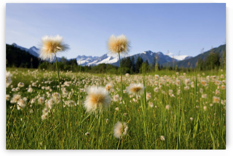 Alaska Cotton Grass In Bloom In A Meadow With The Mendenhall Towers And Coast Mountains In The Background, Southeast, Alaska. by PacificStock