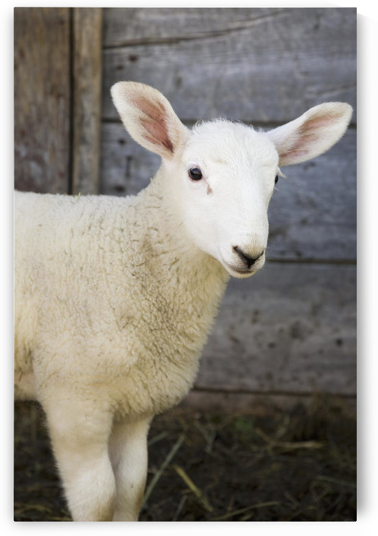 Close up of a baby lamb against the outside of a wooden barn wall;Alberta canada by PacificStock
