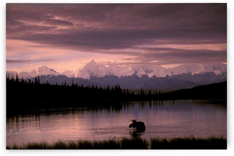 Alaska Range Moose Bull Wonder Lake Denali Natl Park Interior Alaska Summer Trees Snow by PacificStock