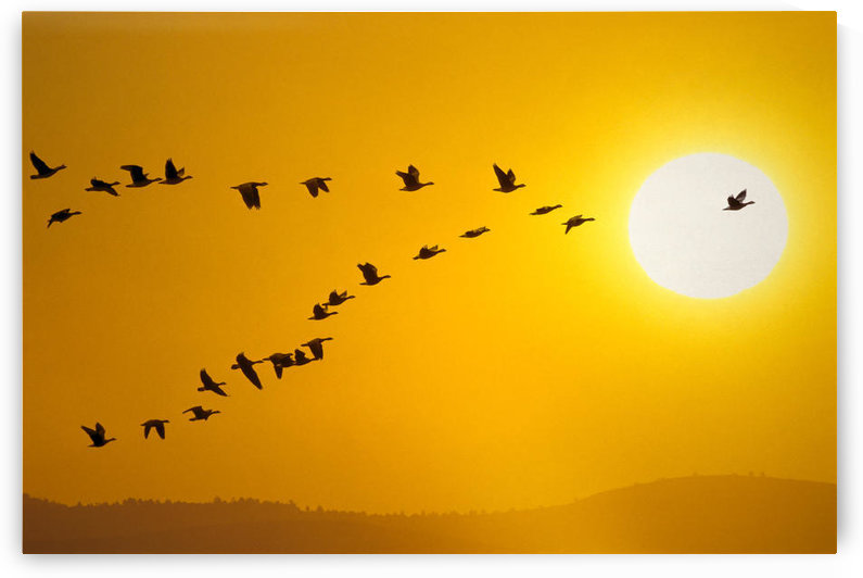 Canada Geese Migration In Sunset Composite by PacificStock