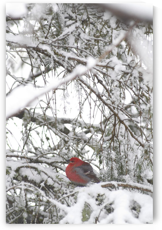 Pine Grosbeak On Snowy Branch Winter Sc Alaska by PacificStock