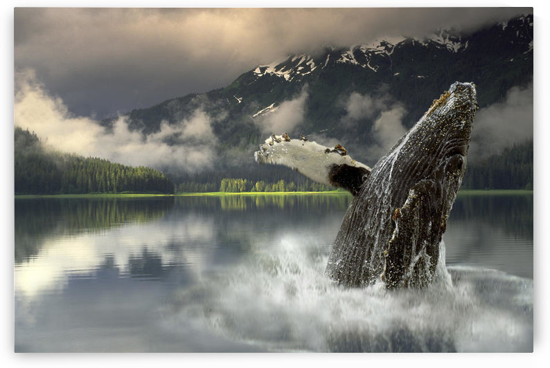 Humpback Whale Breaching Southeast Ak Digital Image Summer Portrait Composite by PacificStock