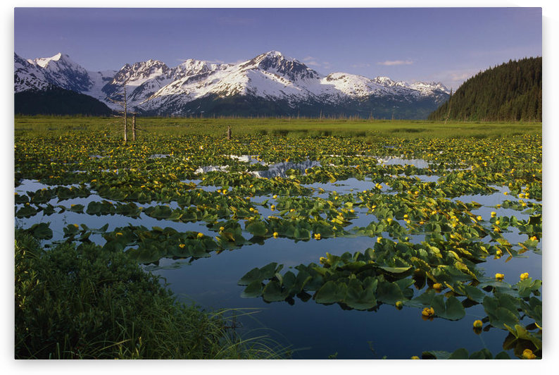Lilly Pads In Bloom On Wetlands Chugach Nf Sc Ak Summer Chugach Mtns by PacificStock