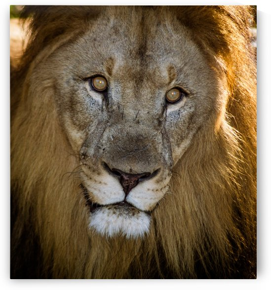 King of the Jungle by Melody Rossi