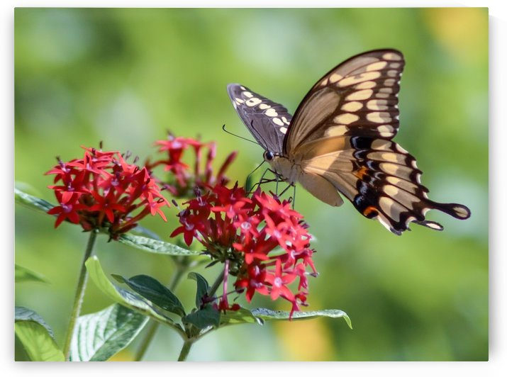 Giant Swallowtail Butterfly 2 by Melody Rossi