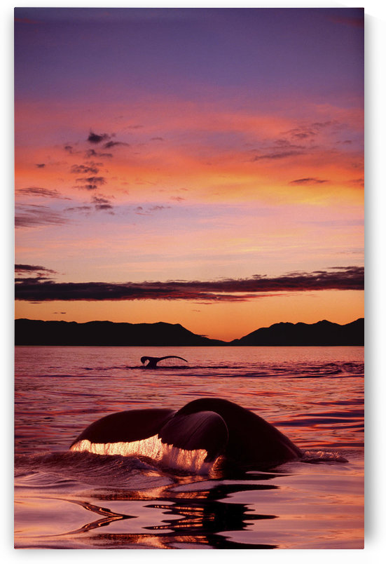 Digital Humpback Whale Tails @ Sunset Se Alaska Scenic Chatham Strait/Ncomposite by PacificStock