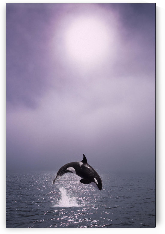 Orca Breaching In Fog Composite Alaska Southeast by PacificStock