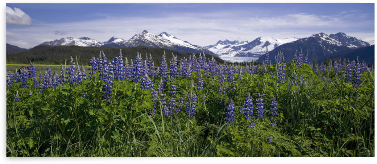Lupine Blooms In The Wetlands Near Mendenhall Glacier. Summer In Southeast Alaska. by PacificStock