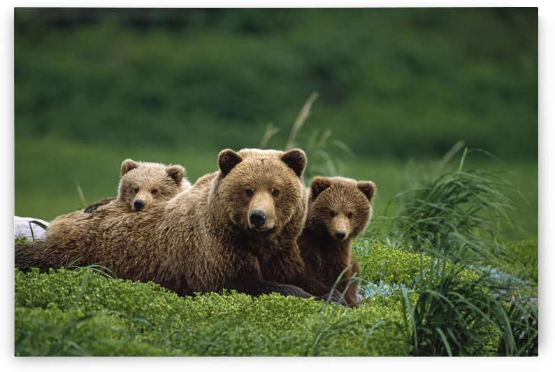 /Ngrizzly Bear Mother And Cubs Lay In Field Southwest Ak/Nsummer by PacificStock