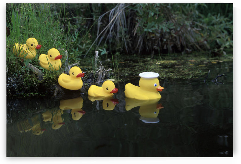 Rubber Ducks In A Row Pond Southcentral Alaska by PacificStock
