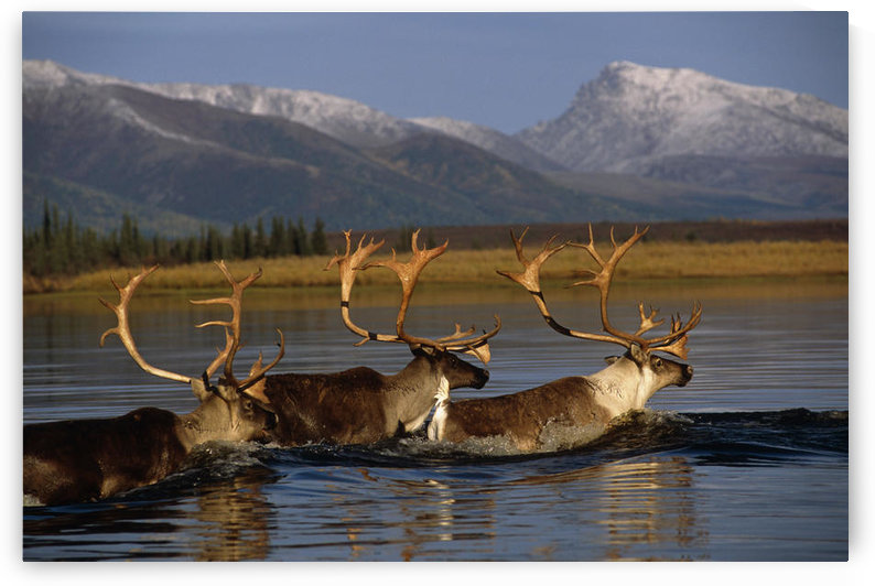 Caribou Herd Swimming Across Kobuk River Arctic Alaska Autumn Kobuk Valley National Park by PacificStock