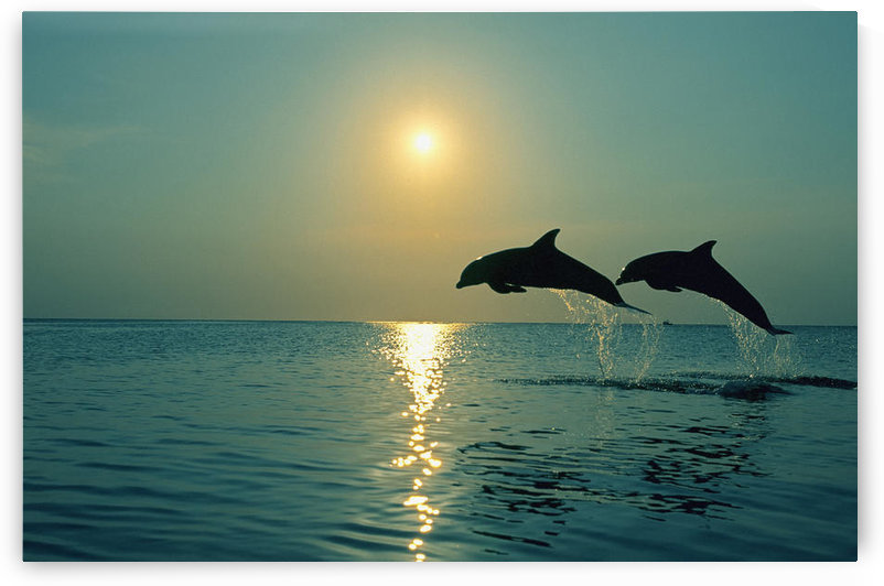 Pair Of Bottle Nose Dolphins Jumping @ Sunset Roatan Honduras Summer Backlit by PacificStock