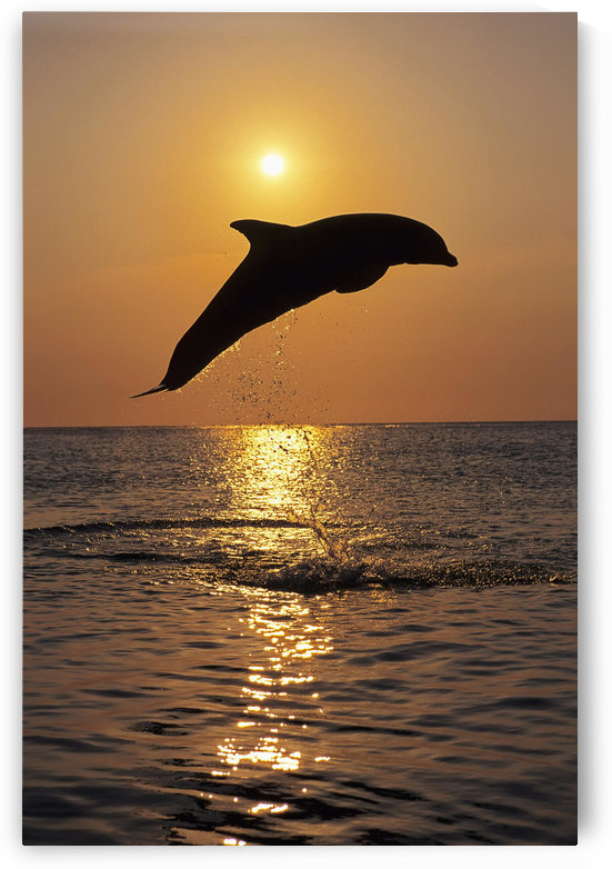 Bottle Nose Dolphin Jumping @ Sunset Roatan Honduras Summer Backlit Silhouette by PacificStock