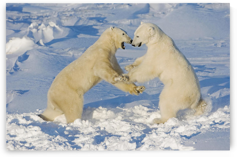 Polar Bears Wrestling And Play Fighting At Churchill, Manitoba, Canada. by PacificStock