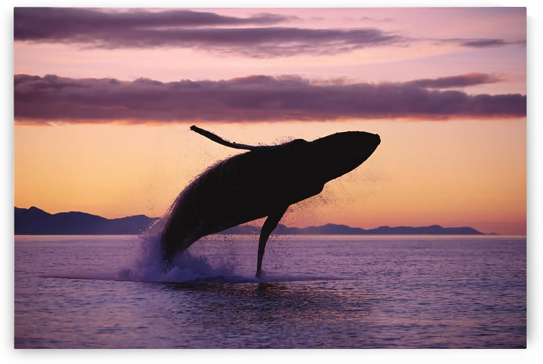 Humpback Whale Breaching @ Sunset Composite Se Ak by PacificStock
