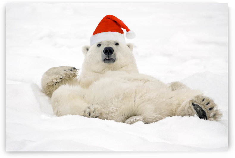 Polar Bear Wearing Santa Hat Lying On Its Back In Snow At Churchill, Manitoba, Canada. Composite by PacificStock