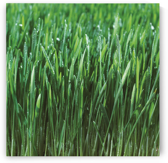 Close-Up Detail Of Fresh Wet Grass by PacificStock