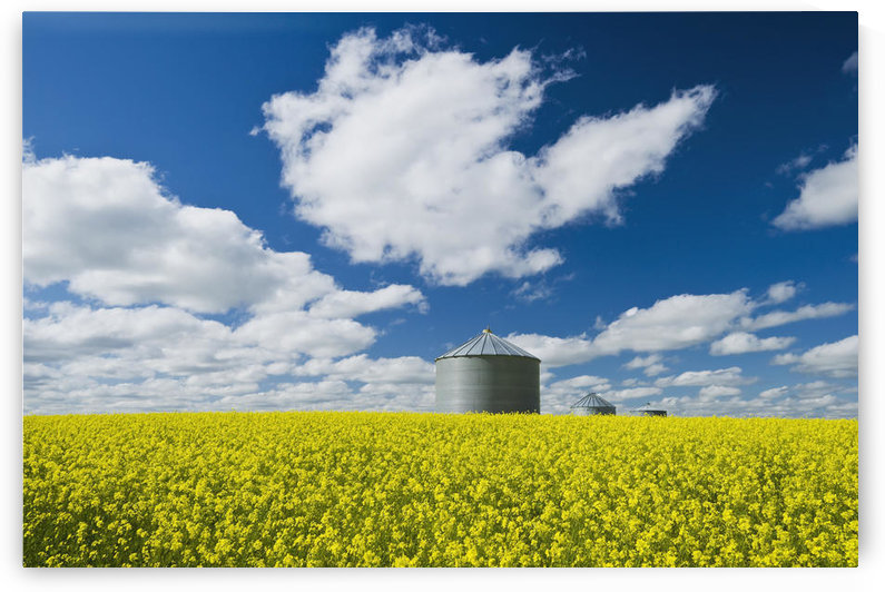 Bloom Stage Mustard Field And Grain Bin; Ponteix Saskatchewan Canada by PacificStock