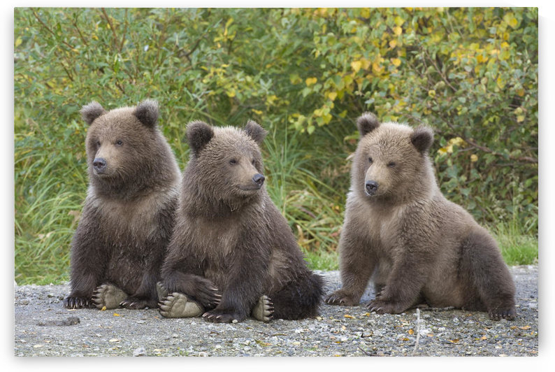 Brown Bear Triplet Spring Cubs, Katmai National Park, Alaska. by PacificStock