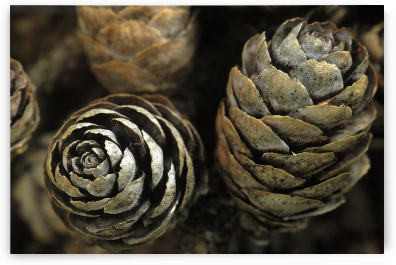Closeup Of Weathered Black Spruce Cones Ar Ak Summer Brooks Range Marion Creek by PacificStock