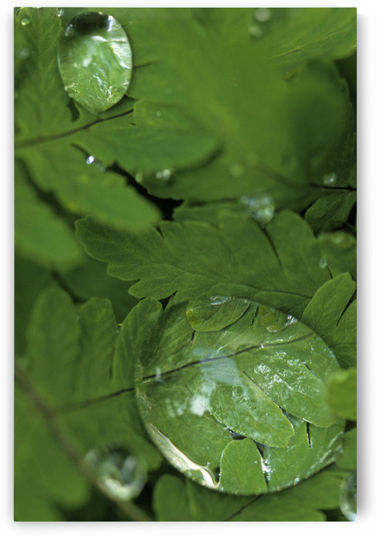 Raindrops On Wood Fern Fronds Boreal Forest Sc Ak Summer Near Anchorage by PacificStock