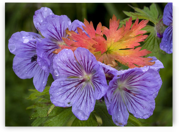 Wild Geranium Blooms With Premature Fall Leaf Coloring In Glen Alps, Chugach State Park, Southcentral Alaska, Summer by PacificStock