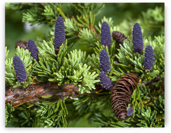 Newly Sprouted Spruce Cones Grow Amidst Last Years Cones In Glen Alps, Chugach State Park, Southcentral Alaska, Summer by PacificStock