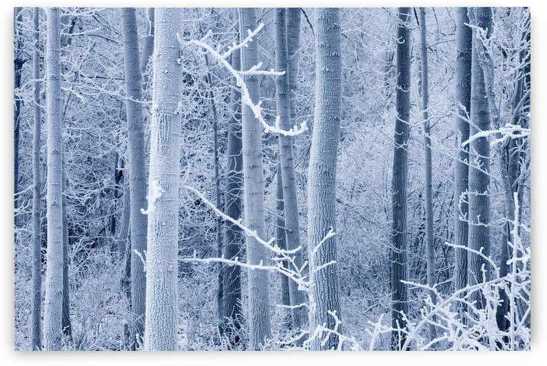 Frost Coated Birch Forest Near Knik River Mat-Su Valley Southcentral Alaska Winter by PacificStock