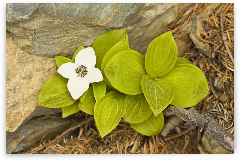 Close Up Of Dwarf Dogwood At Lowell Point Near Seward, Kenai Peninsula, Southcentral Alaska, Spring by PacificStock