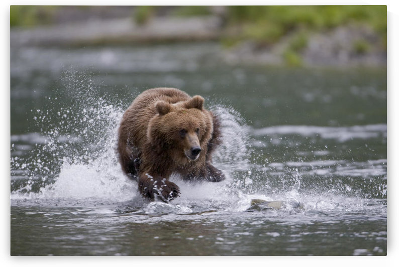 Brown Bear Chases Salmon In A Shallow Stream, Prince William Sound, Chugach National Forest, Southcentral Alaska, Summer by PacificStock