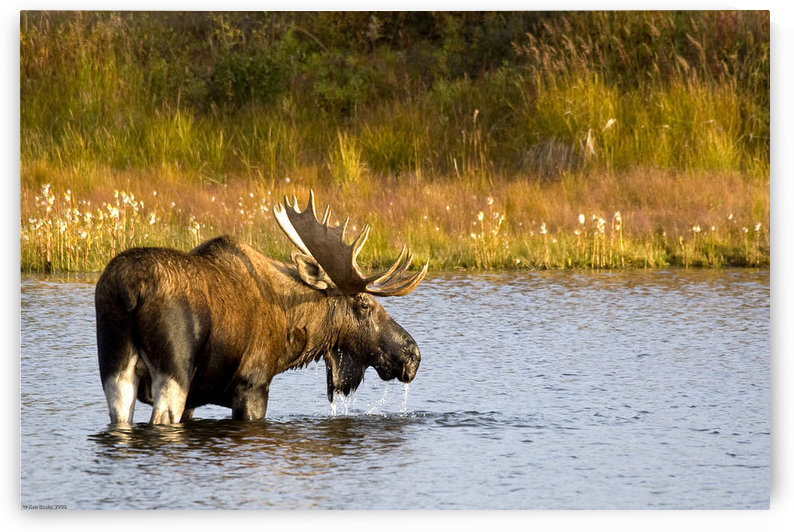 A Large Bull Moose Wades Through A Permafrost Pond In Denali National Park Near Wonder Lake, Interior Alaska, Fall by PacificStock