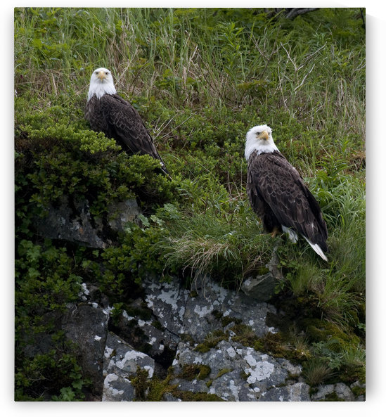 Portrait Of Two Bald Eagles Resting On A Cliff In Kukak Bay, Katmai National Park, Southwest Alaska, Summer by PacificStock
