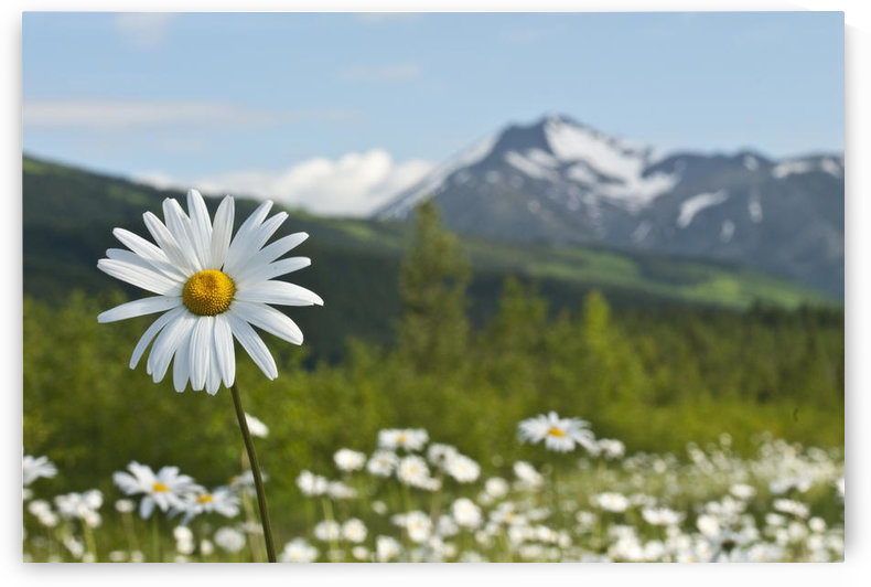 A Group Of Daisies Grow In The Meadows Of Turnagain Pass In Chugach National Forest, Kenai Peninsula, Southcentral Alaska, Summer by PacificStock