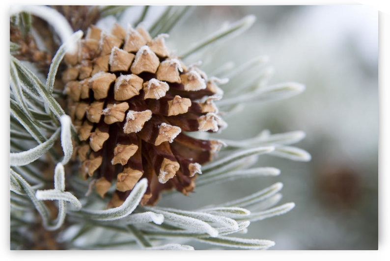 Close-Up Image Of Frost-Covered Pine Cone On Branch In Winter. by PacificStock