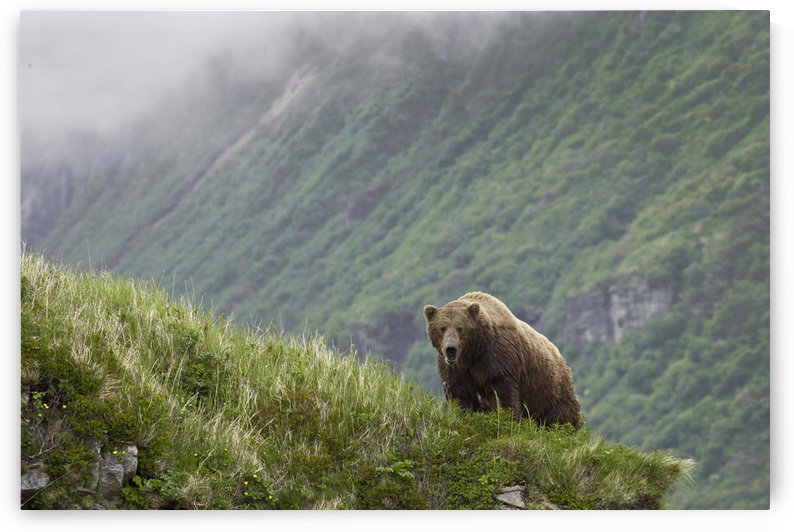 A Male Brown Bear Stands On A Grassy Ridge On An Island In Amalik Bay Near Geographic Harbor On The Katmai Coast In Alaska by PacificStock