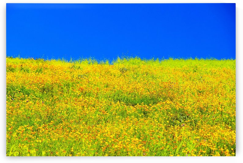 yellow poppy flower field with green leaf and clear blue sky by TimmyLA