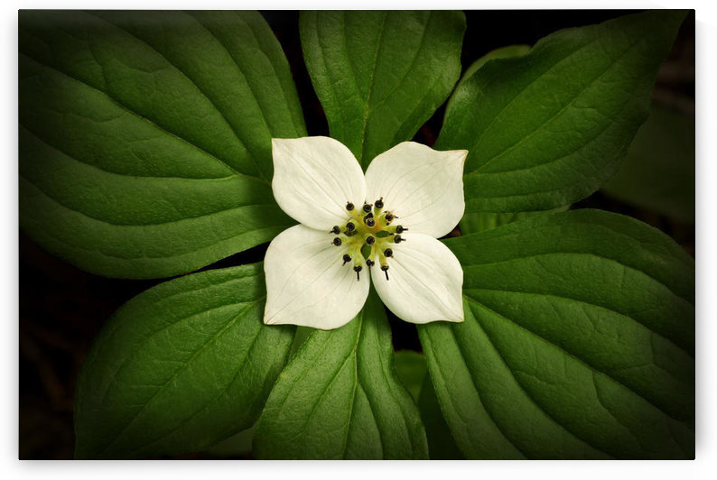 Close-Up Dwarf Dogwood Flower In Full Bloom, Alaska by PacificStock