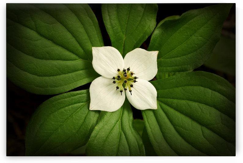 Close-Up Dwarf Dogwood Flower In Full Bloom, Alaska by PacificStock