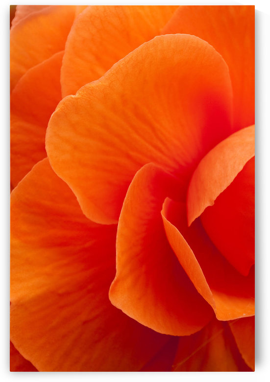 Macro View Of A Orange Begonia Flower During Summer by PacificStock