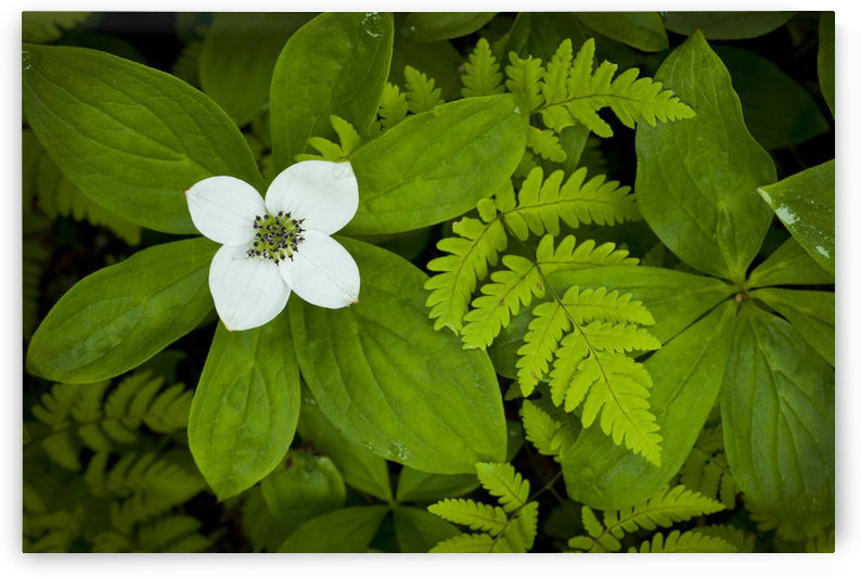 Close Up Of A Dwarf Dogwood Flower Mixed With Ferns, Turnagain Pass Area Of The Kenai Peninsula, Alaska by PacificStock