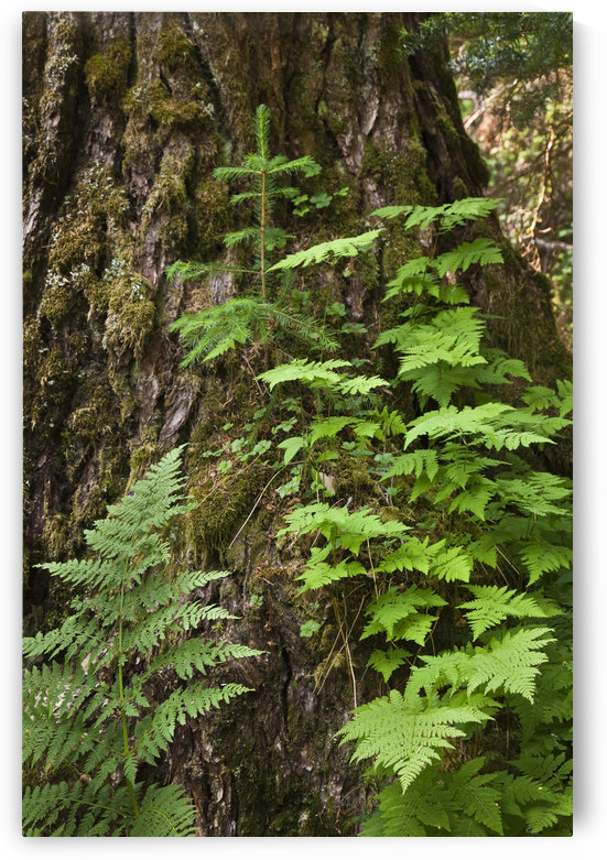 Wood Ferns And A Young Spruce Tree Grow Out Of The Base Of A Large Spruce Tree In The Rain Forest Along The Winner Creek Trail In Girdwood, Alaska by PacificStock