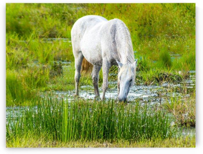 Wild Wetland Stallion by Melody Rossi