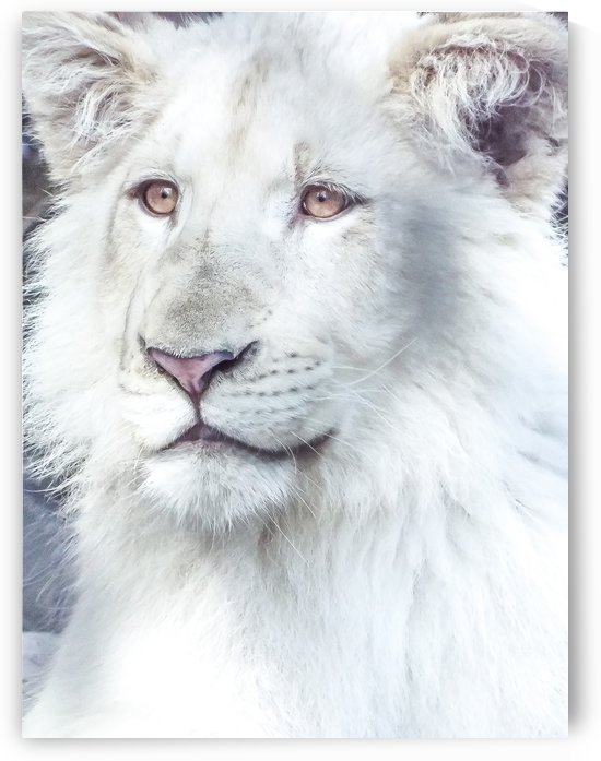 Juvenile White Lion  by Melody Rossi